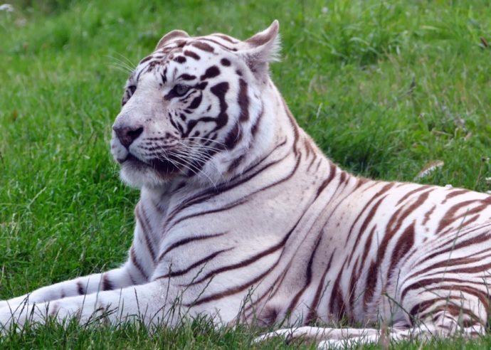 Big Cat Habitat sarasota